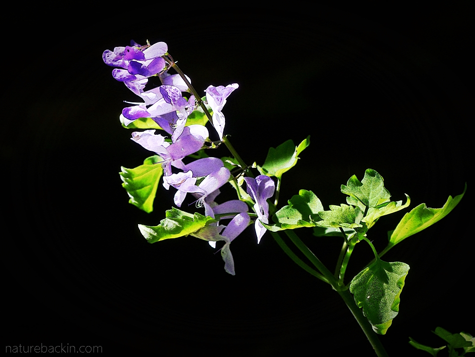 Flowers of the stoep jacaranda (Plectranthus saccatus)