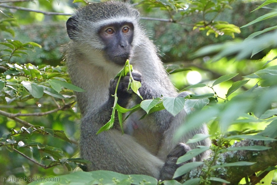 Vervet monkey eating leaves of a pigeonwood tree in a suburban garden, KwaZulu-Natal