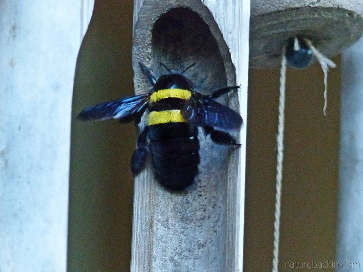 Carpenter bee at nest