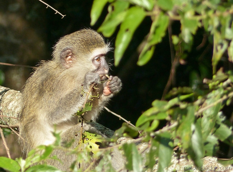 A young vervet monkey eating fruit in a pigeonwood tree, South Africa