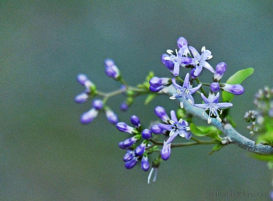 Flowers of the puzzle bush (Ehretia rigida)