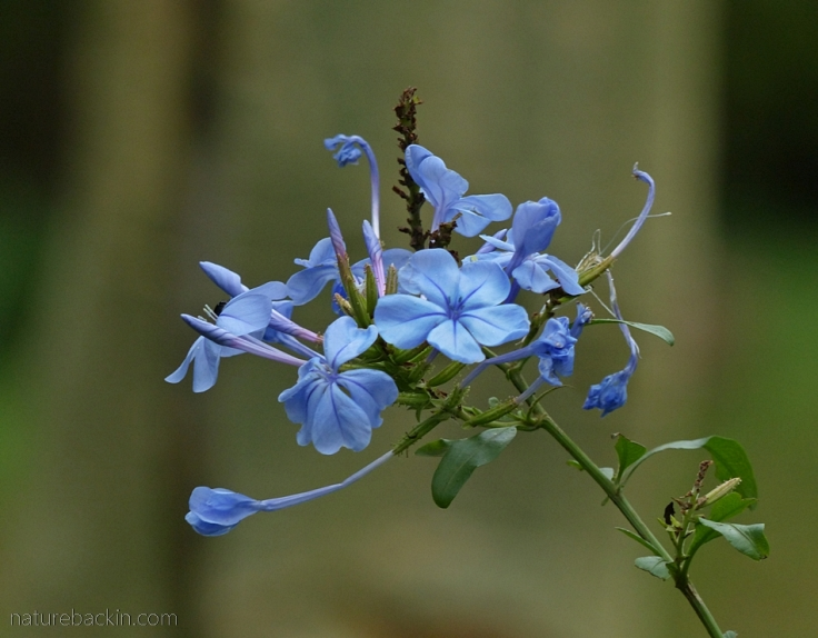 Blue flowers of Plumbago auriculata, South Africa