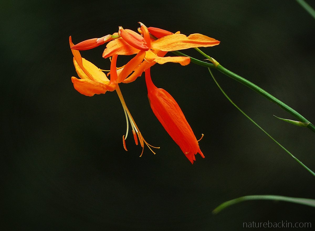 Flowers of falling stars ( Crocosmia aurea)