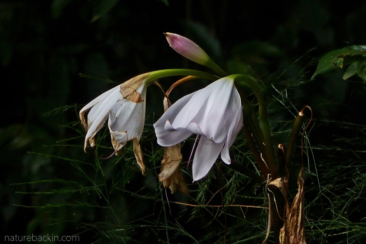 Fading flowers and bud of a crinum lily