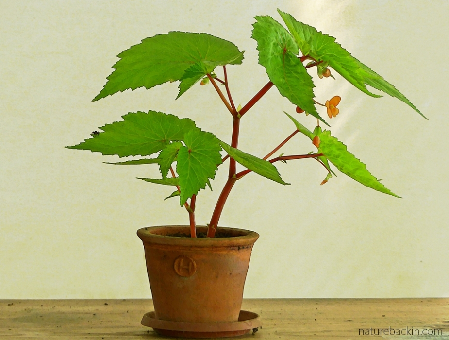 Wild orange begonia in pot