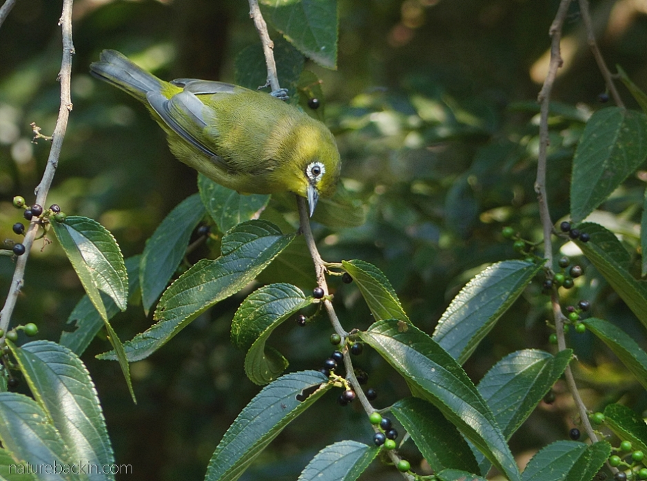 Cape white-eye eating fruit in a pigeonwood tree (Trema orientalis)