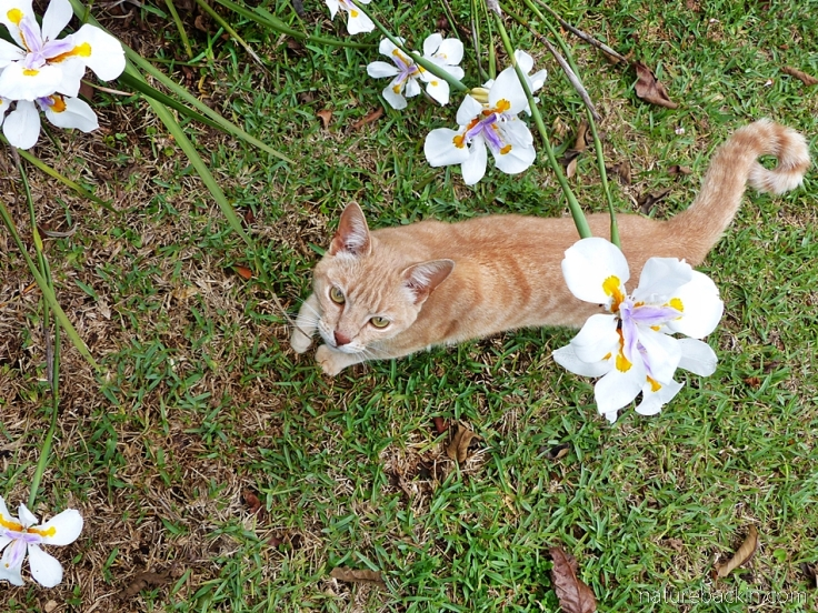 Ginger cat and flowers of the wild iris, South Africa