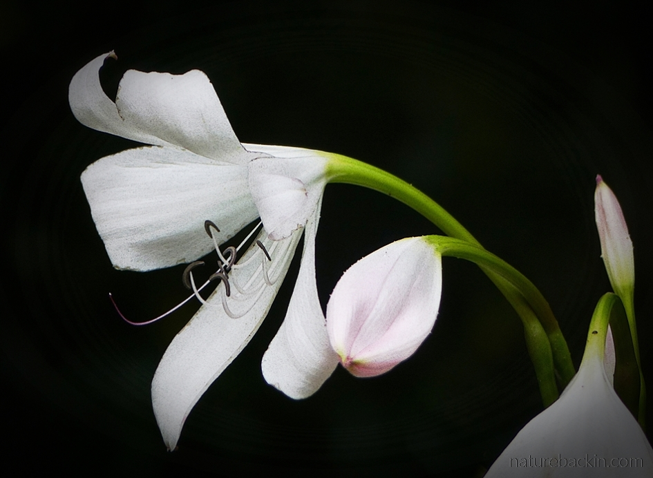 Flower and bud of the Natal lily (Crinum moorei)