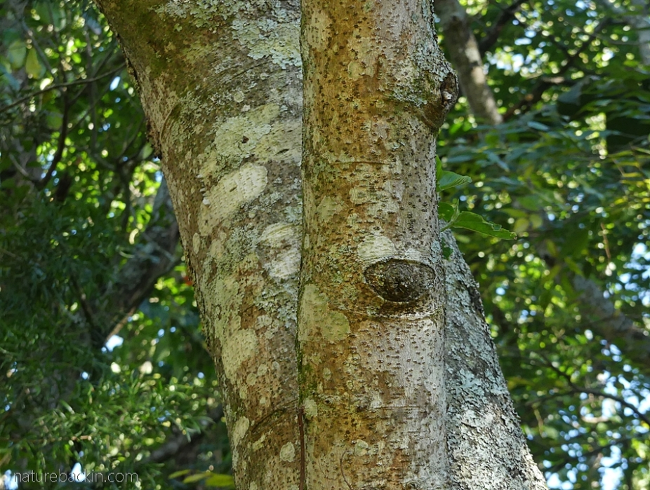 Trunk and bark of a pigeonwood tree (Trema orientalis)