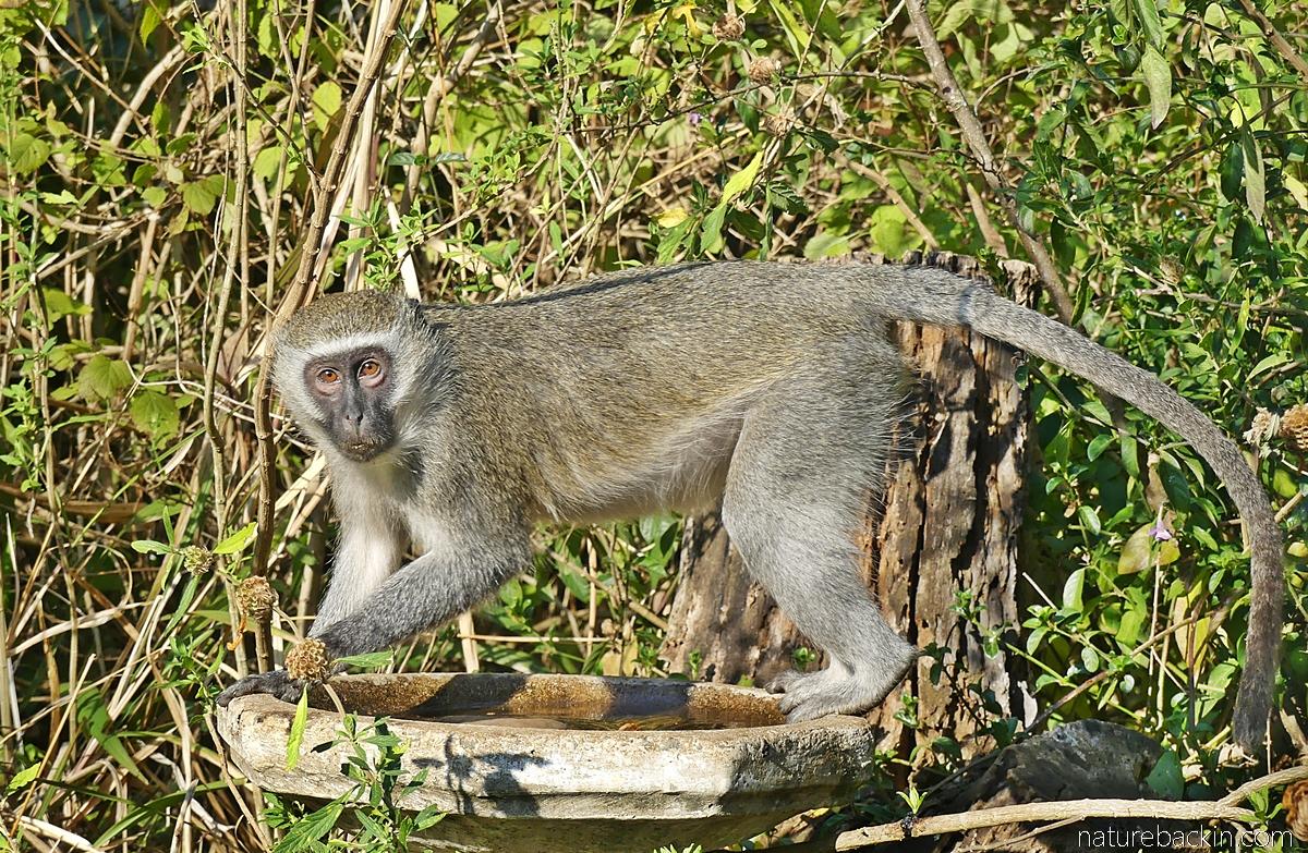 Vervet monkey visiting garden birdbath, KwaZulu-Natal