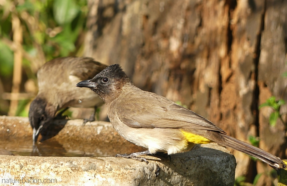Dark-capped bulbuls at birdbath, South Africa