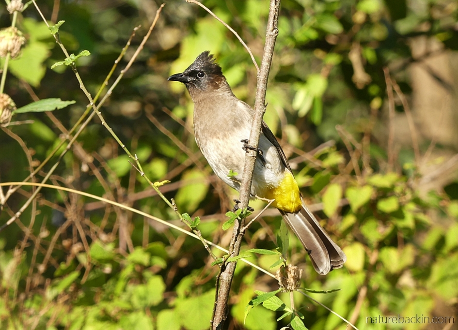 Dark-capped bulbul perching on a stem