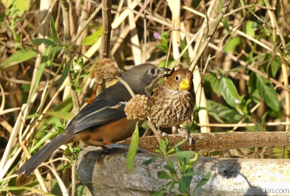 Southern boubou and thick-billed weaver