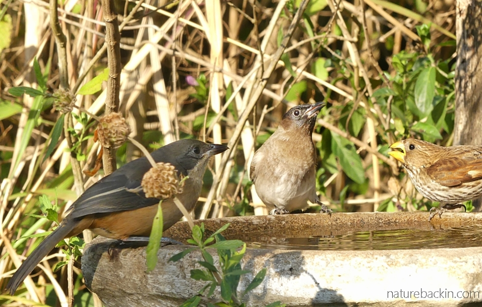 A southern boubou, dark-capped bulbul and thick-billed weaver at birdbath