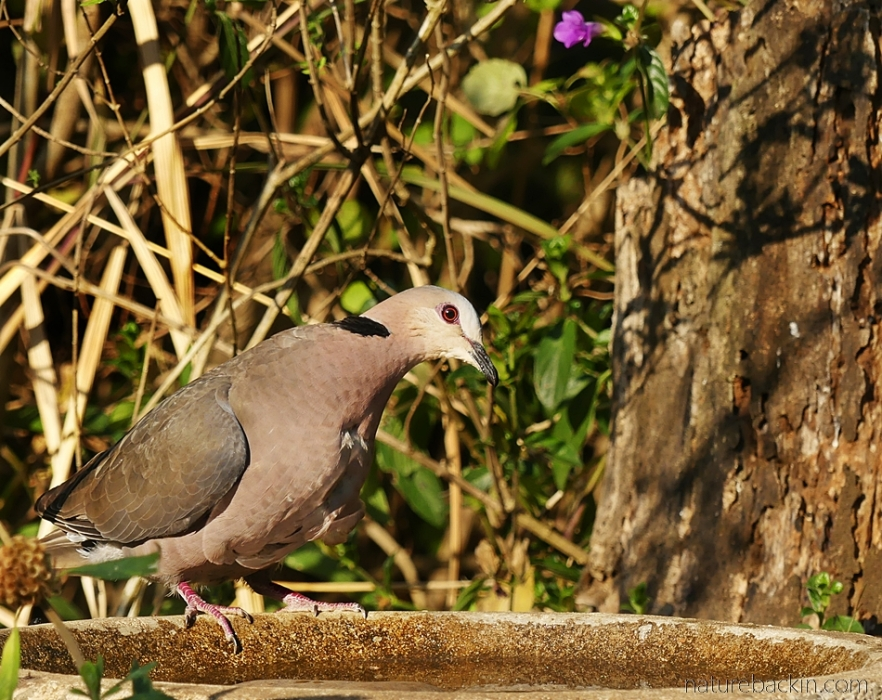 Red-eyed dove at birdbath, South Africa