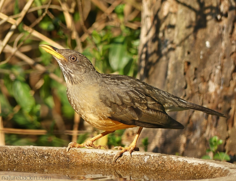 Olive thrush drinking at birdbath, South Africa