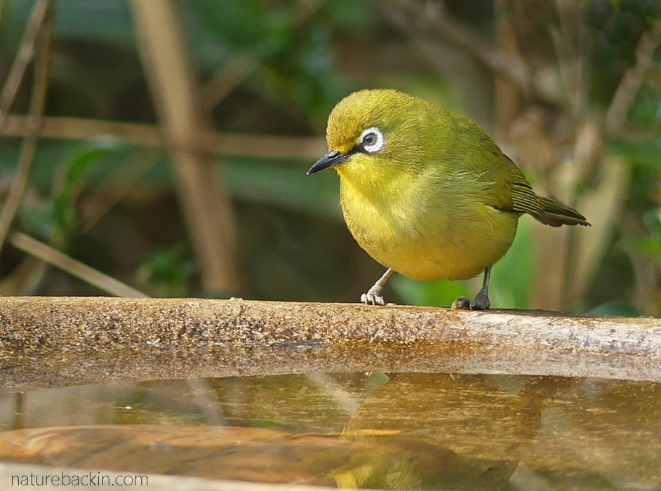 Cape white-eye at birdbath, South Africa