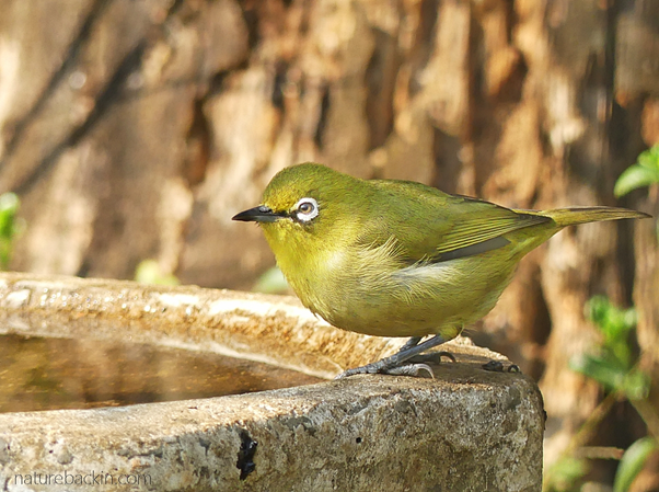 Cape white-eye at birdbath, KwaZulu-Natal