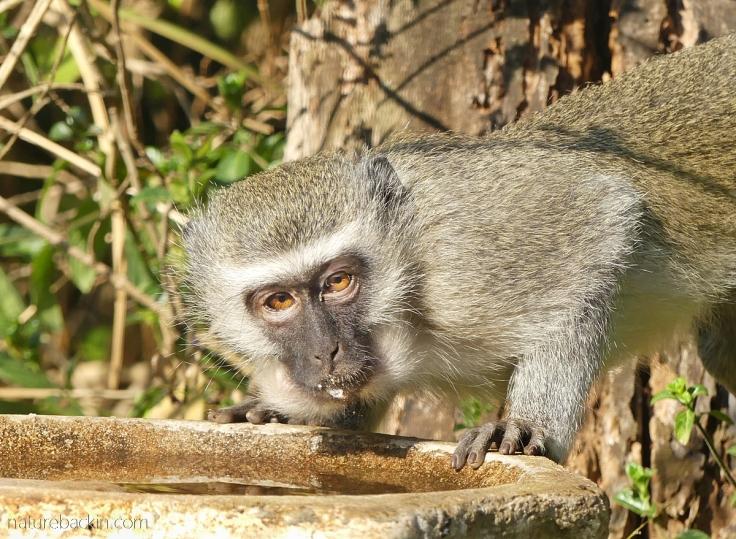 Vervet monkey drinking from garden birdbath, KwaZulu-Natal