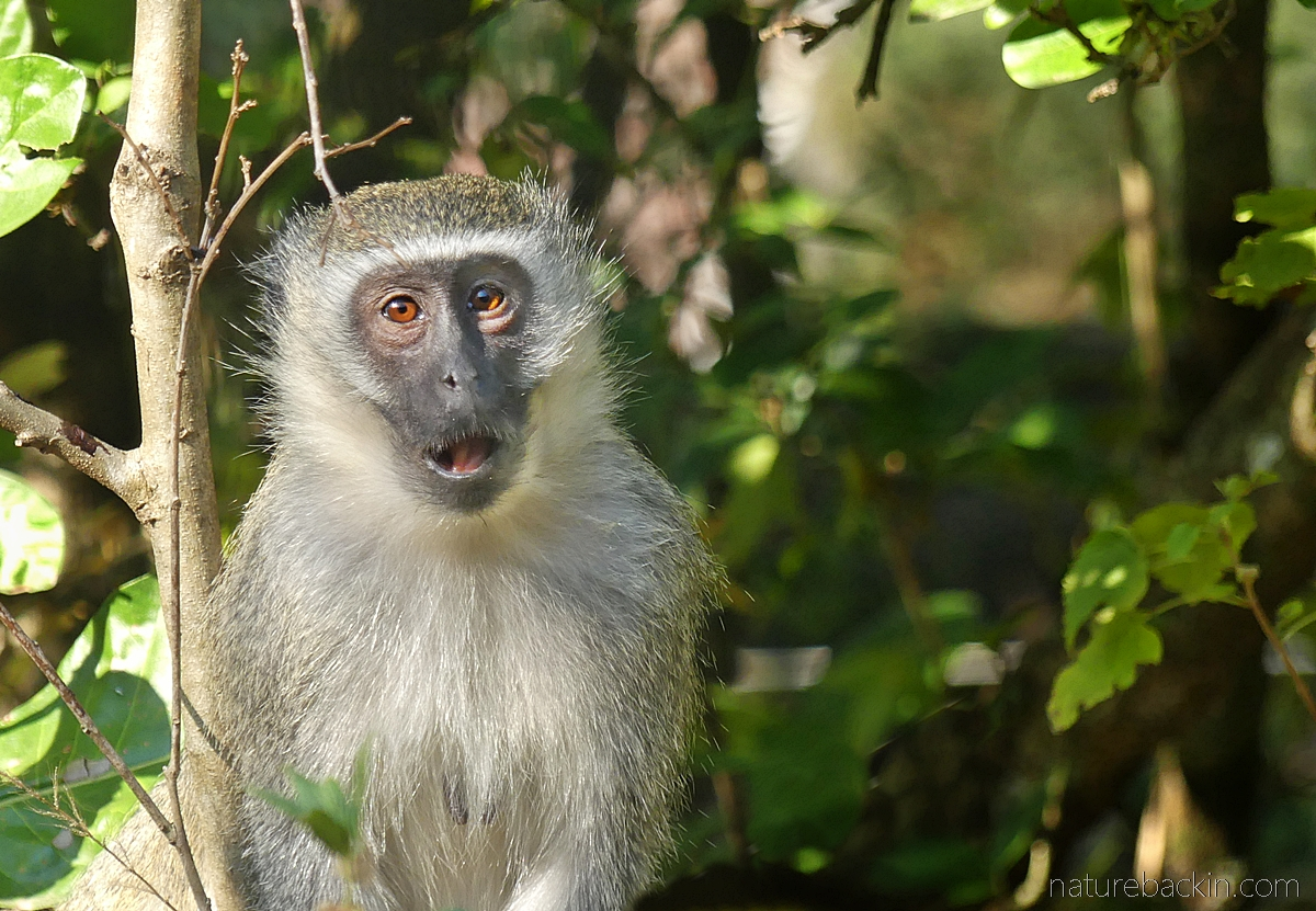 Vervet monkey looking dumbfounded