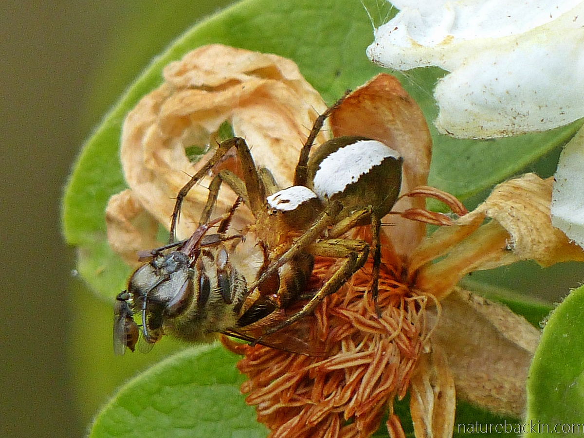 Lynx spider with bee prey, South Africa