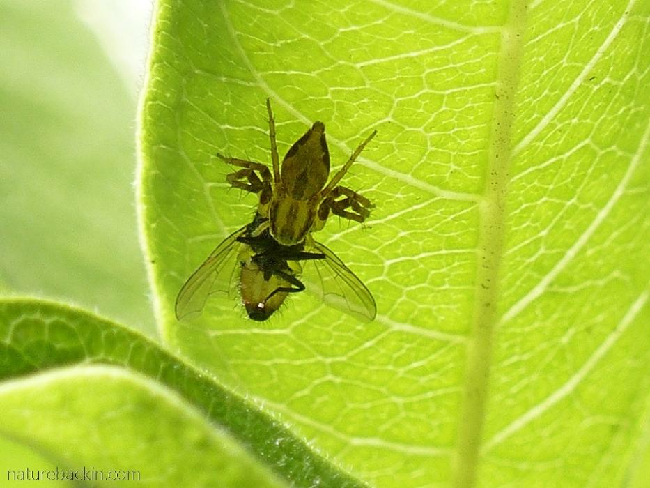 Lynx spider on leaf holding fly prey
