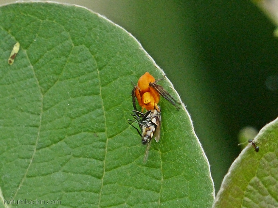 Small orange lynx spider with fly prey, South Africa