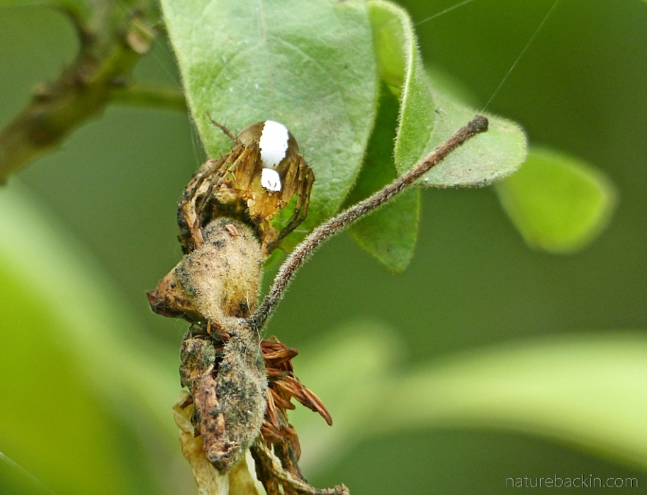 Lynx spider with egg pouch