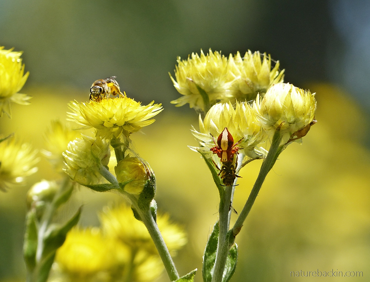 Honeybee and lynx spider with prey of everlasting flowers, South Afri