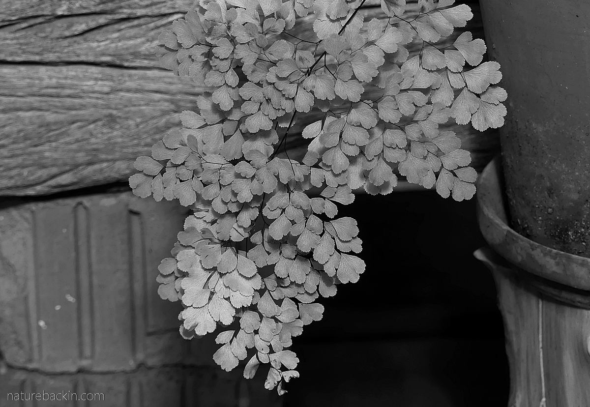 Maidenhair fern frond in black and white