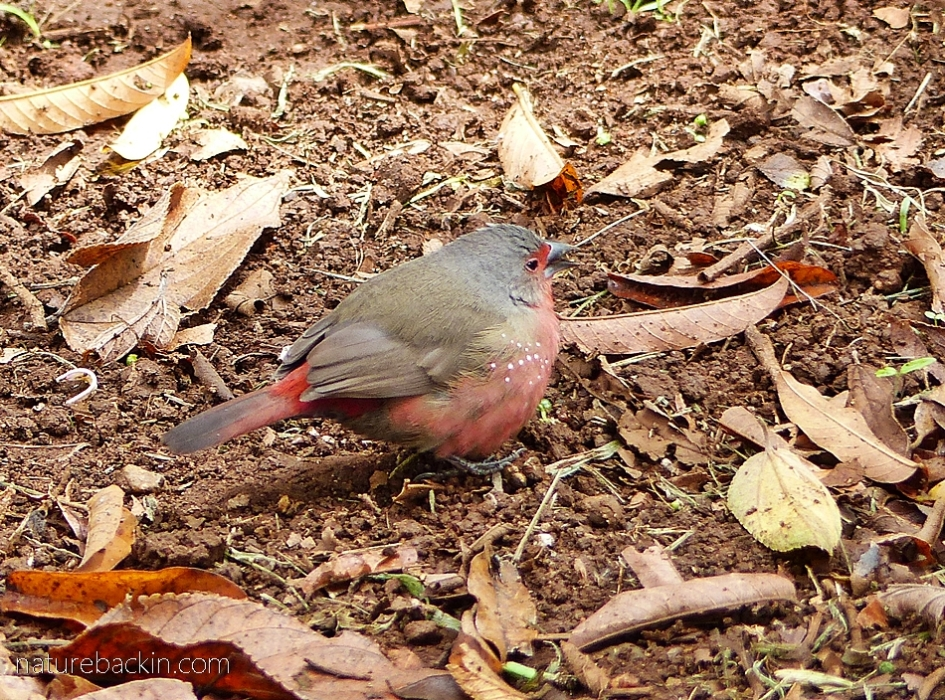 African firefinch foraging on the ground