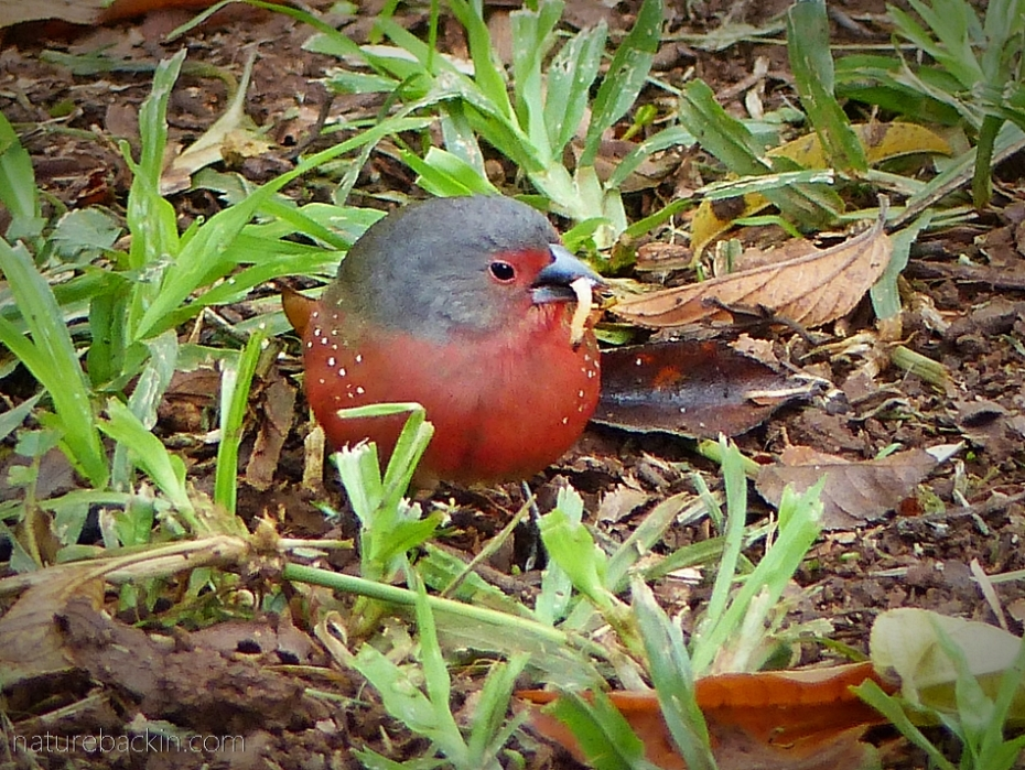 African firefinch with caterpillar prey, South Africa