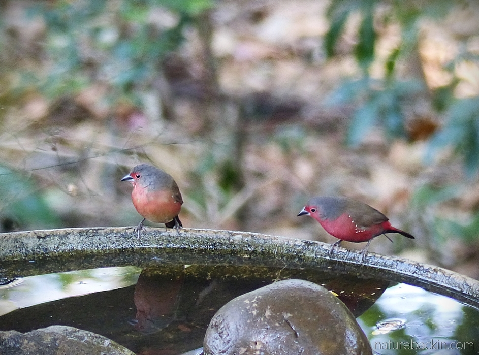 Pair of African firefinches at birdbath in a suburban garden, South Africa