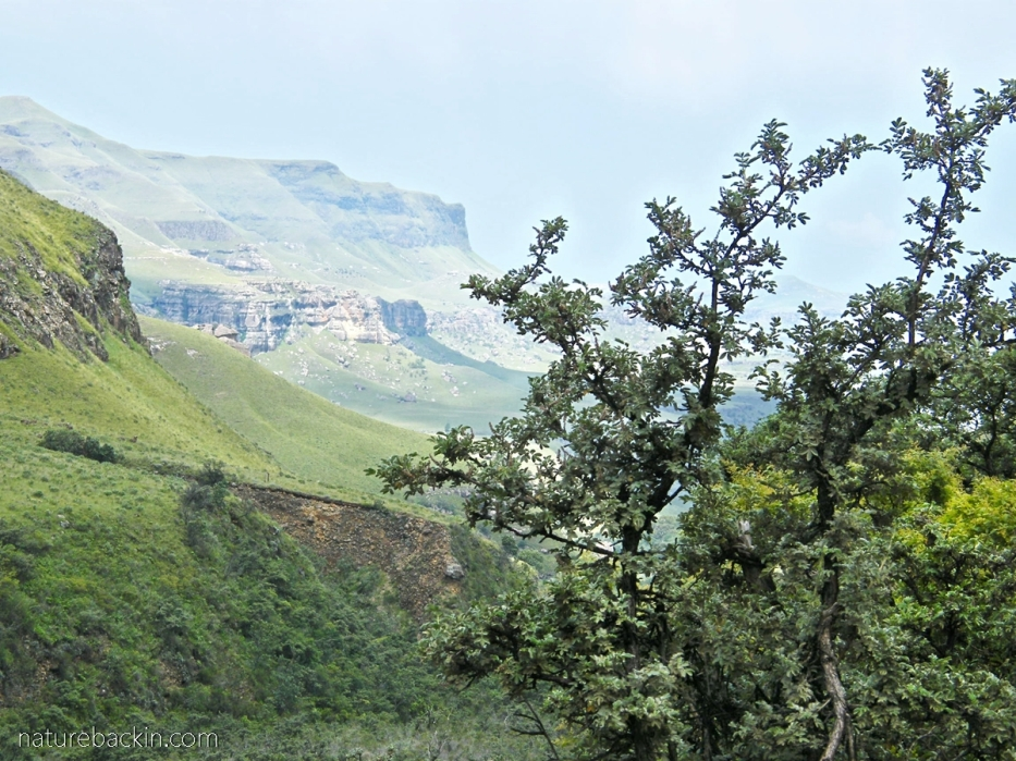 Ouhout near the escarpment near Sani Pass, South Africa