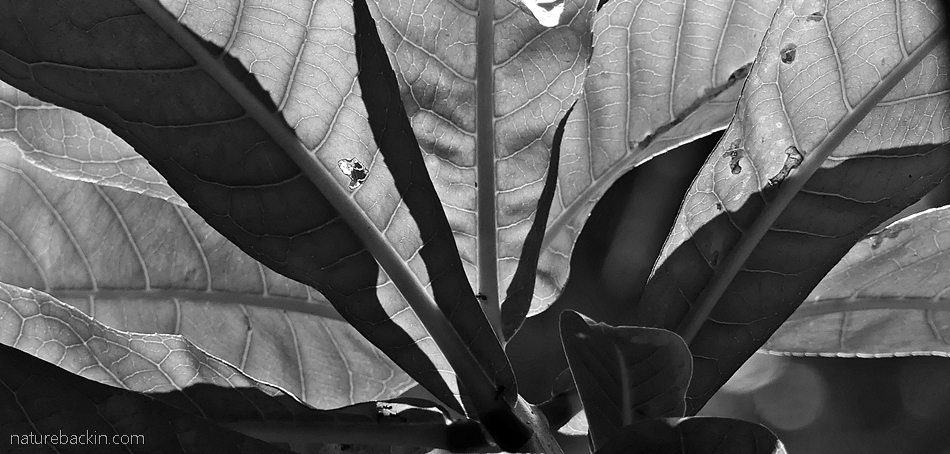 Rosette of leaves in black and white