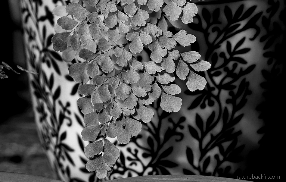 Potted maidenhair fern in black and white
