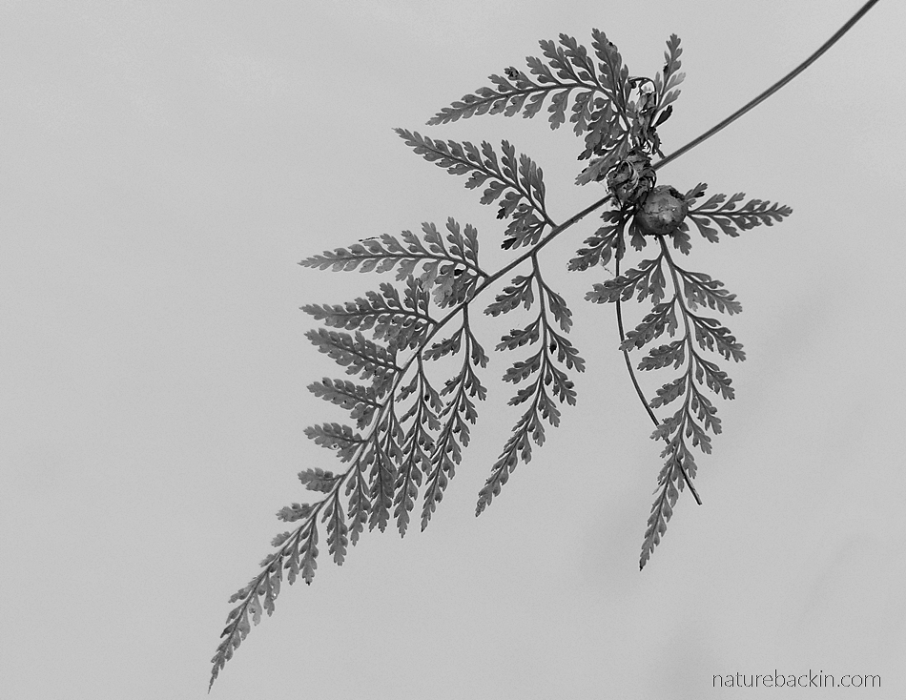 Fern frond in silhouette, black and white image