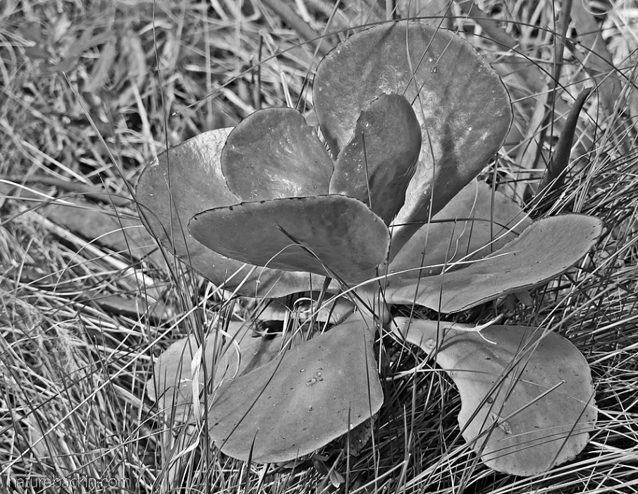 Black and white photo of succulent leaves in grassland