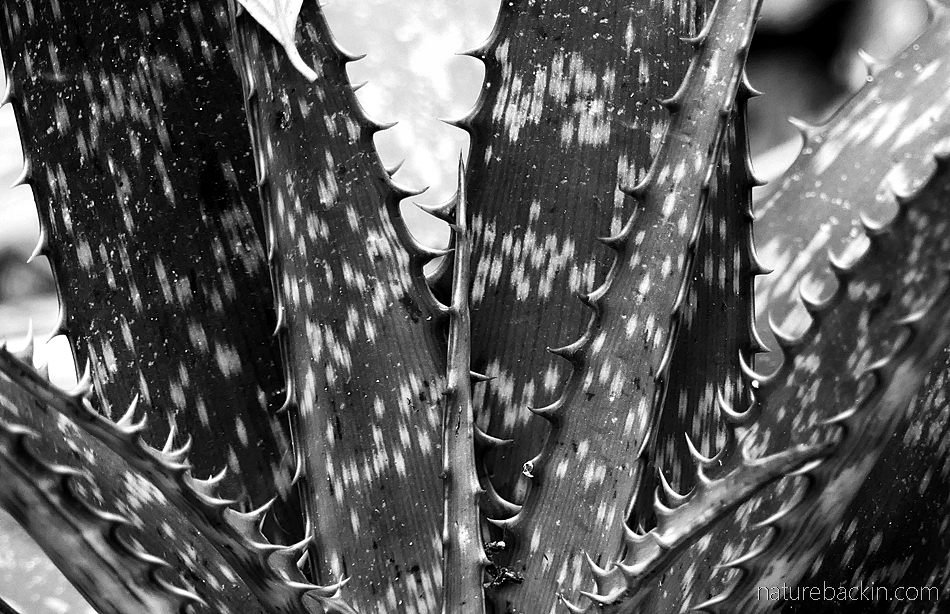 Black and white photo of aloe leaves in close-u[