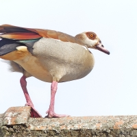 Calling from the rooftops: Egyptian geese in the suburbs