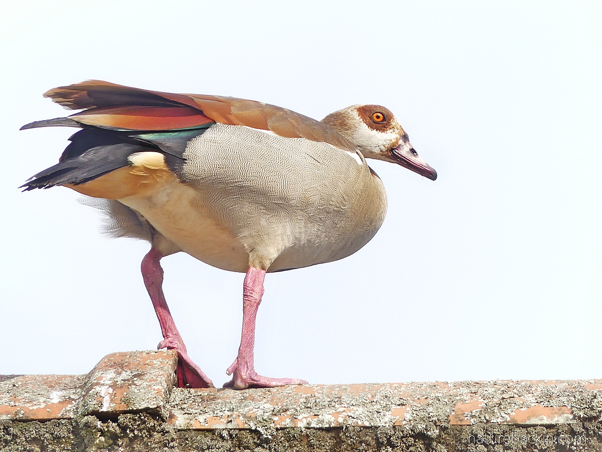 Egyptian goose on the roof, South Africa