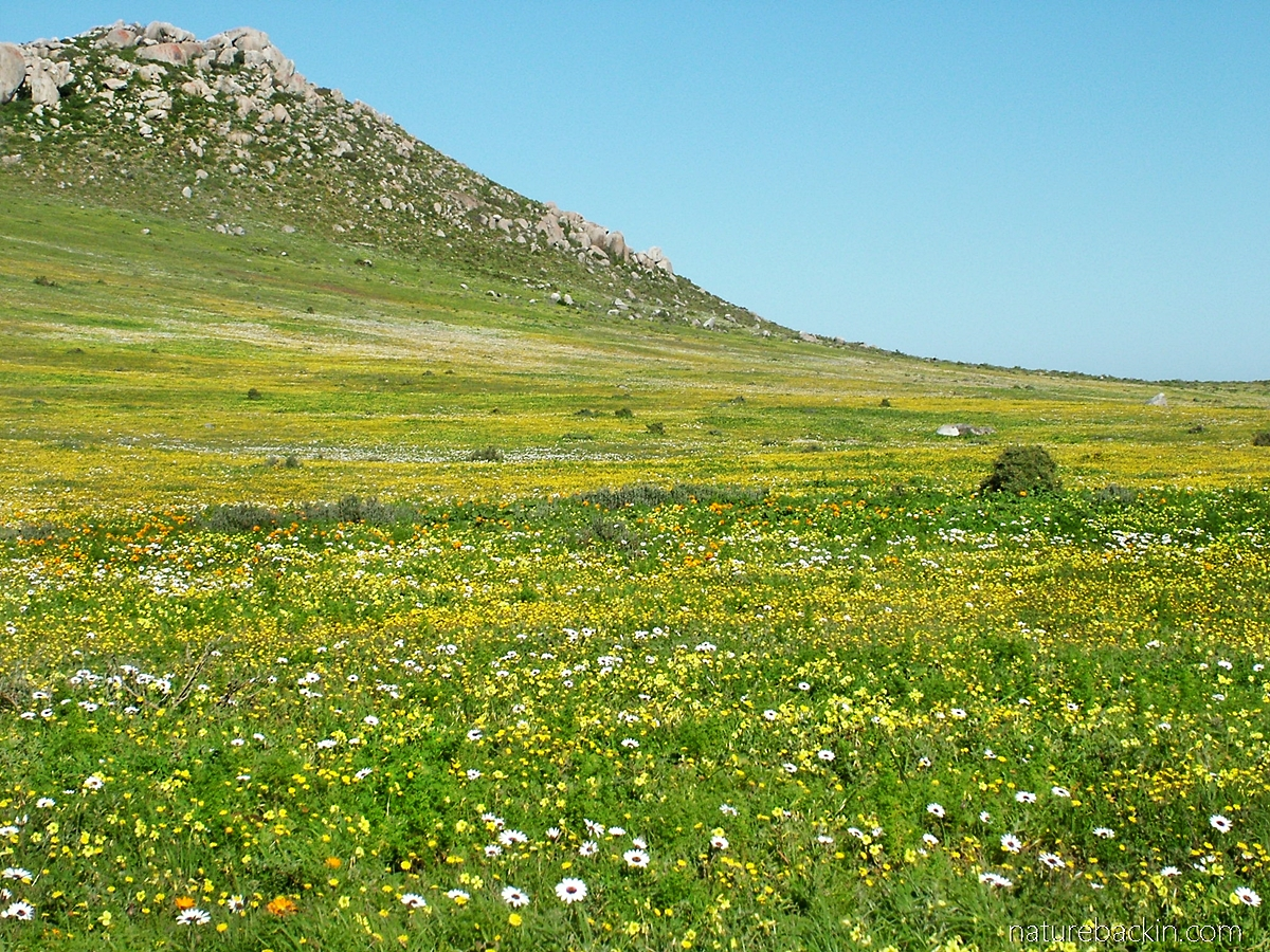 Spring flowers as Postberg nature reserve, West Coast National Park, South Africa