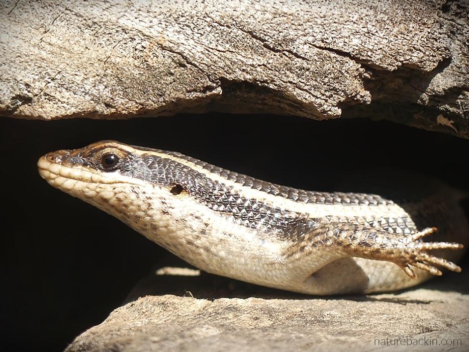 Striped skink sunbathing, KwaZulu-Natal