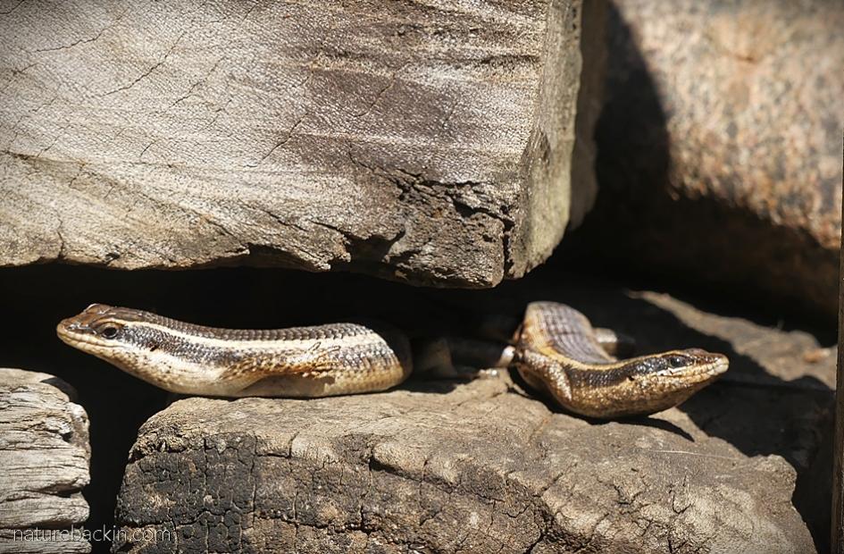 Pair of striped skinks sunbathing