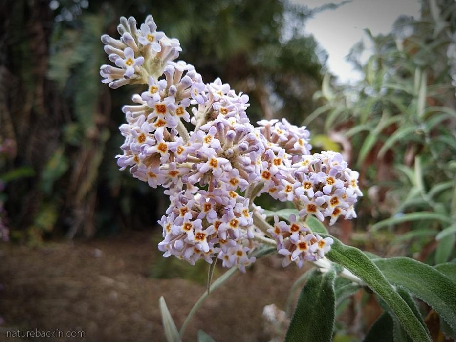 Mauve flowers of the wild sagewood