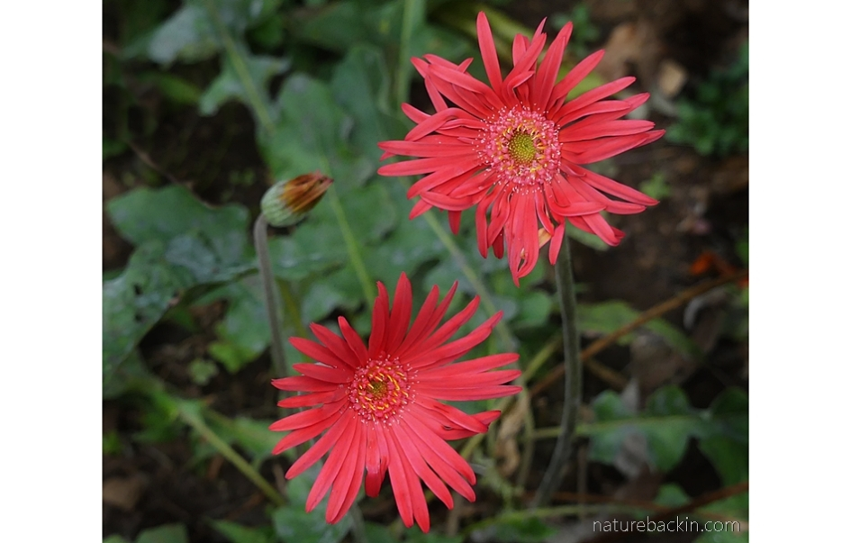 Hybrid Barberton daisies in flower