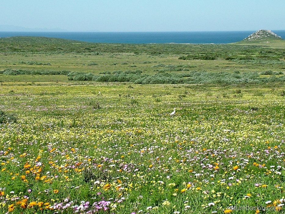 View of spring flowers to the Atlantic Ocean, Postberg, Western Cape