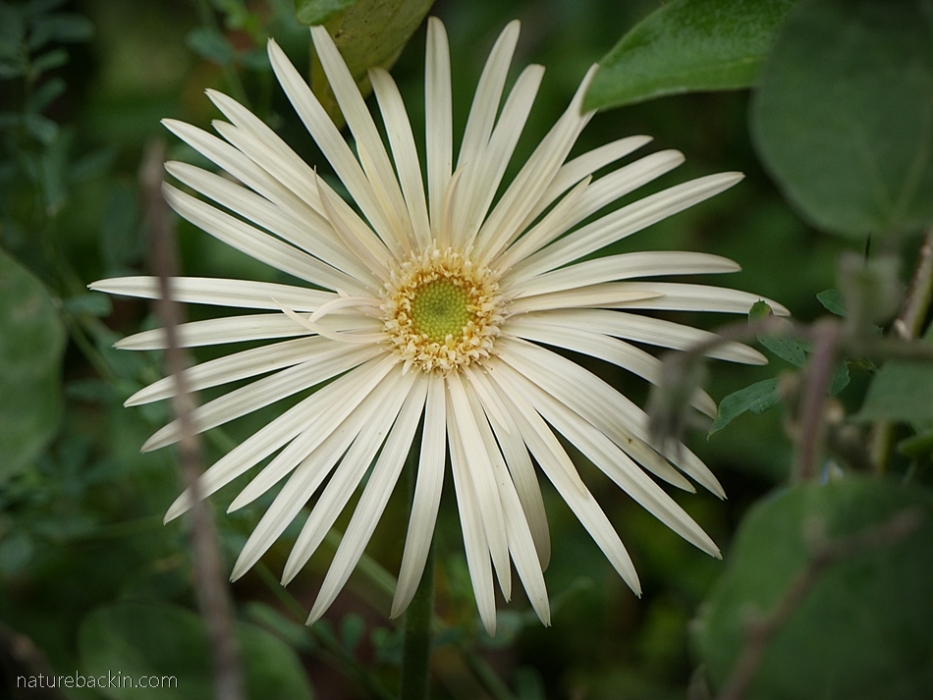 Pale yellow flower of a hybrid Barberton daisy