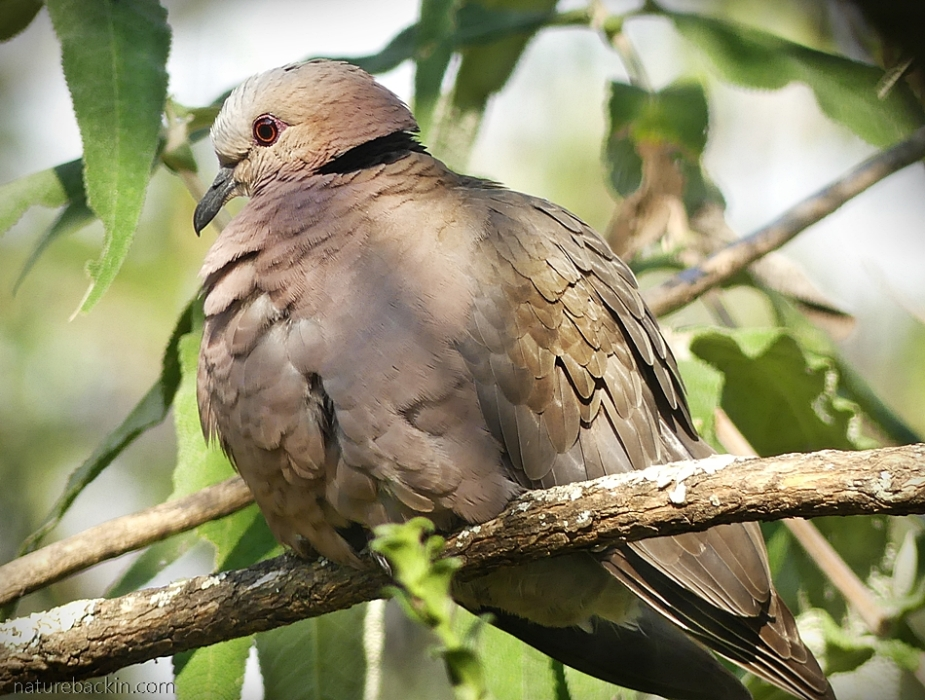 Red-eyed dove perching
