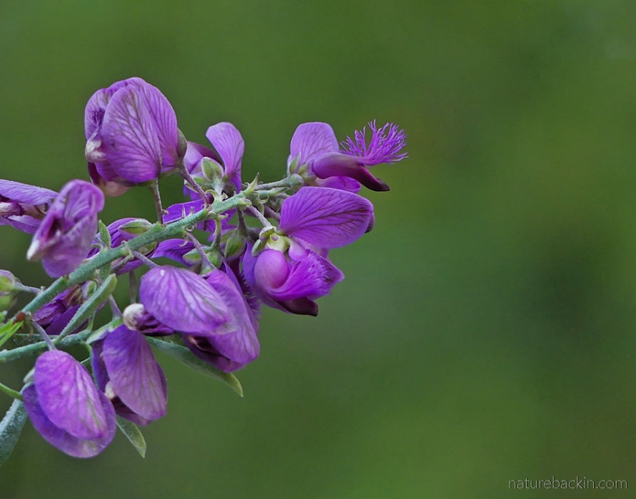 Flower of the purple broom, South Africa